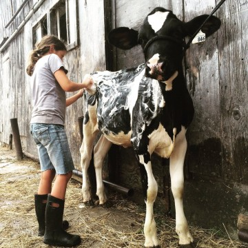 4-H-Ontario-youth-washes-her-dairy-calf-for-competition